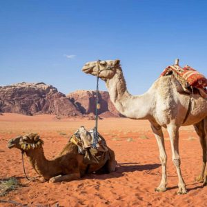 Camels in Jordan - Sustainable tours in the middle east
